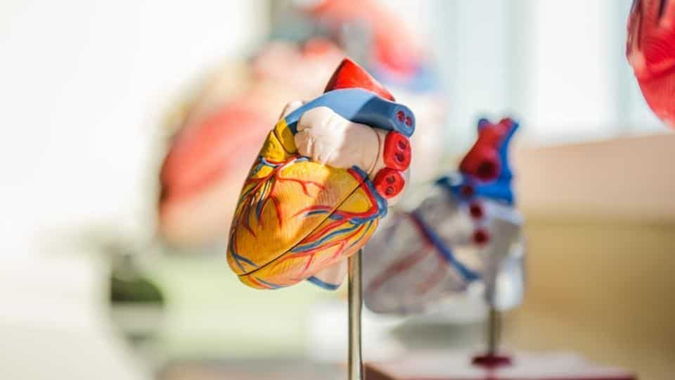 Link between calcium, cardiolipin in heart defects discovered