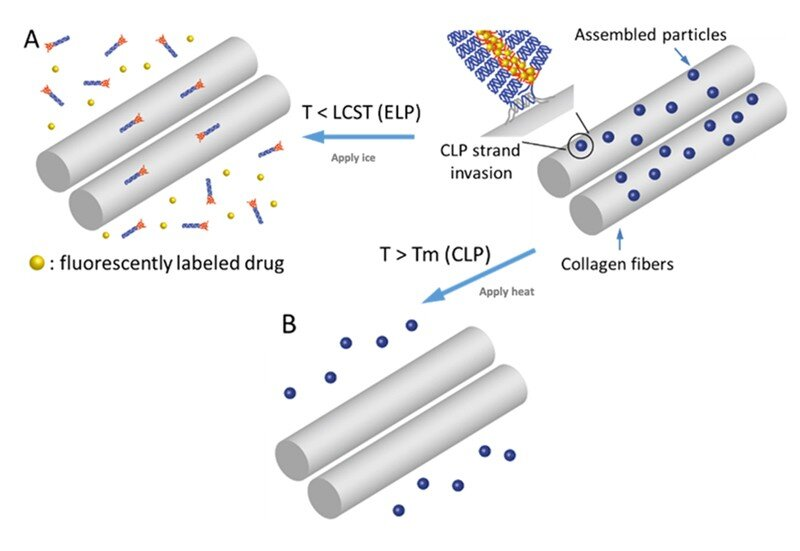 Researchers advance drug delivery systems to treat connective tissue disorders