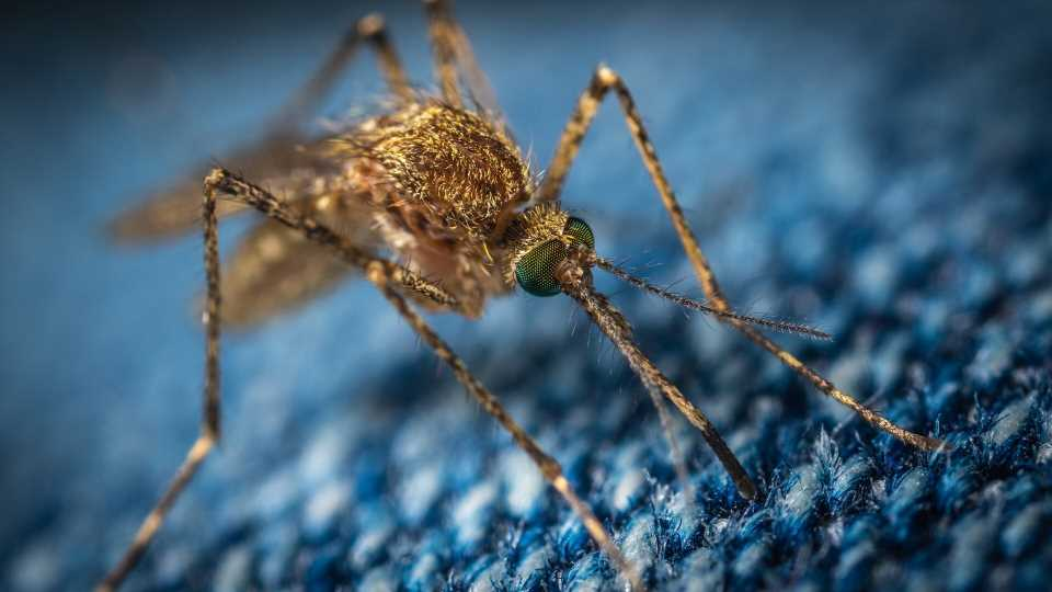 Invasive mosquito species could bring more malaria to Africa's urban areas