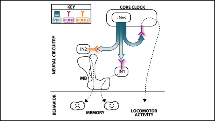 Time-keeping brain protein influences memory