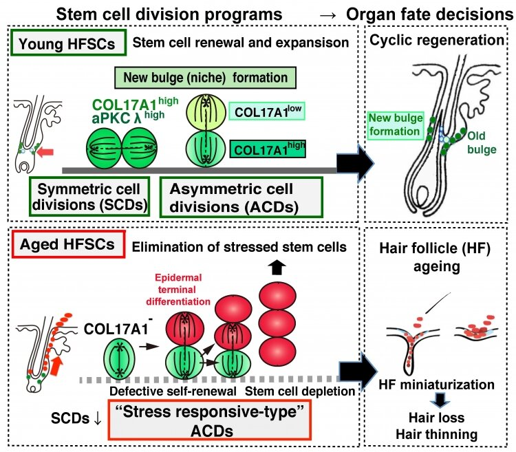 The bald truth—altered cell divisions cause hair thinning