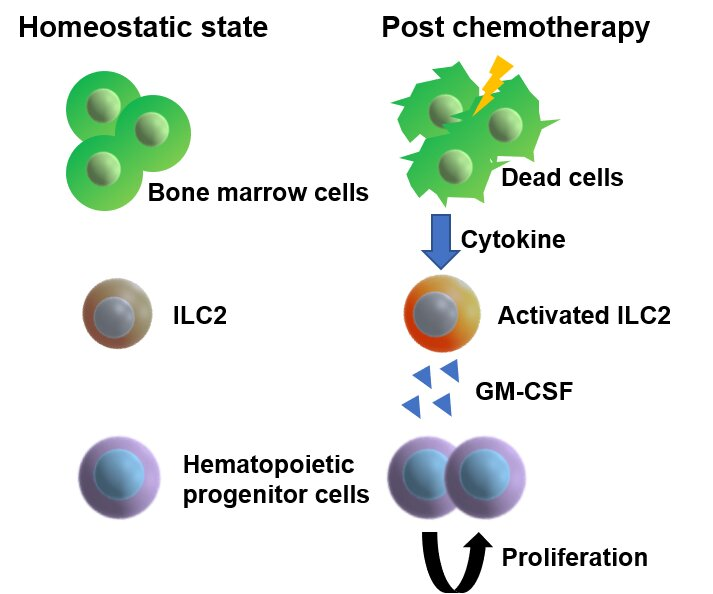How bone marrow regenerates after chemotherapy