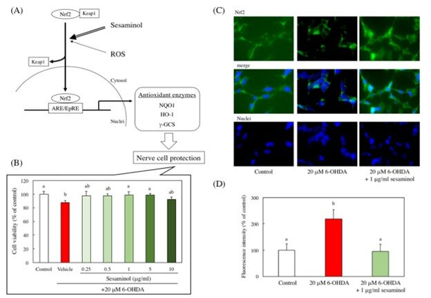 Sesaminol prevents Parkinson's disease by activating a signaling pathway