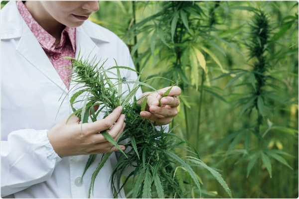 Cannabis compound inhibits SARS-CoV-2 replication in human lung cells