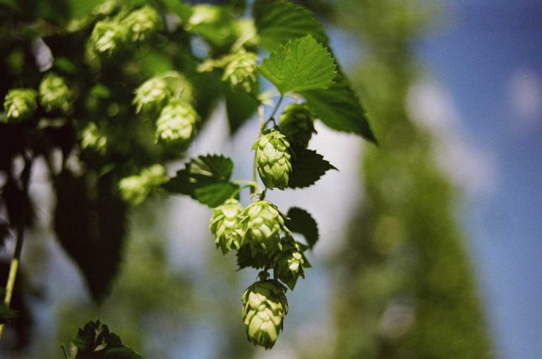 Gut microbes are key to health benefit delivered by hops compound